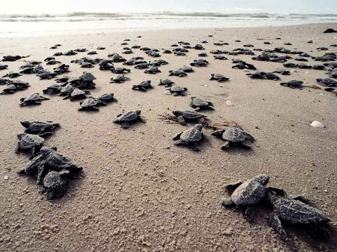 ridley-sea-turtle_687_990x742